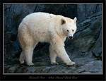 White Phased Black Bear